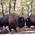 Safari de Peaugres -043- bisons